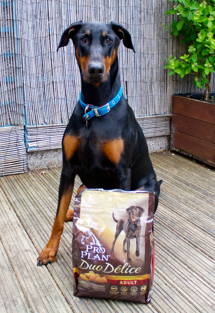 dobermann with dog food