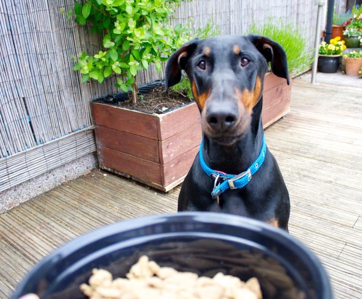 dog staring at bowl