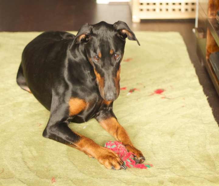 dobermann and rope toy