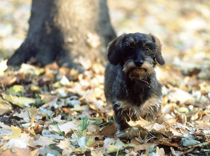autumn-dachshund-1468934