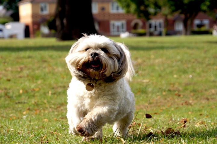 bailey-the-shih-tzu-running-in-the-park-1332348