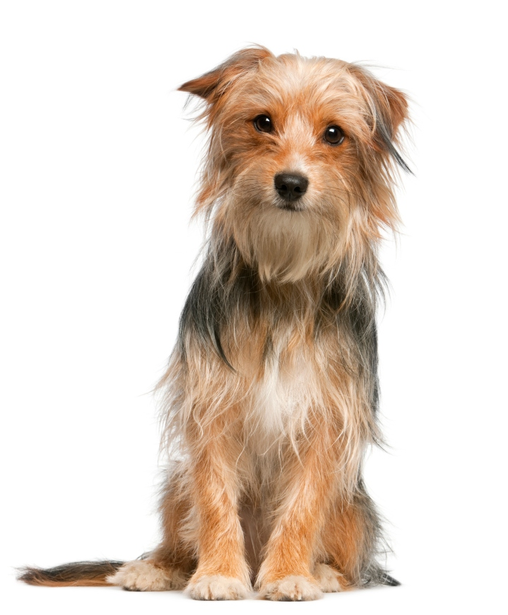 Mixed-breed dog, 12 months old, sitting in front of white background